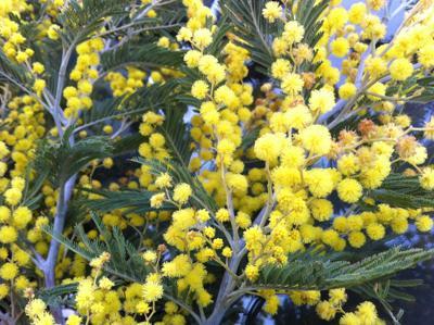 Coldiretti, da 70 anni mimose simbolo dell'8 marzo ma il clima taglia il raccolto del 30%