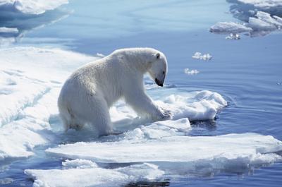 Cuccioli di orso polare a rischio, la minaccia si chiama 'Pop'