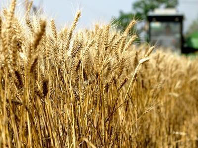 Si diffonde la dannosa ruggine del grano: nuove varietà in Europa, Africa e Asia