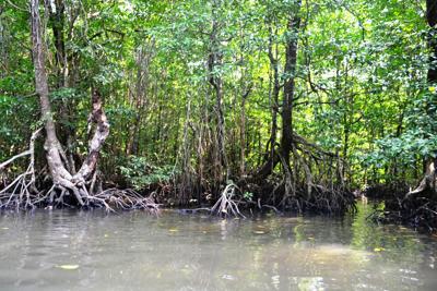 Mangrovie a rischio estinzione entro un secolo, ne perdiamo l'1% l'anno