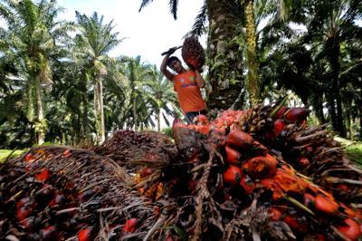 Malesia: ministro Mah Siew Keong, entro il 2019 olio di palma 100% sostenibile