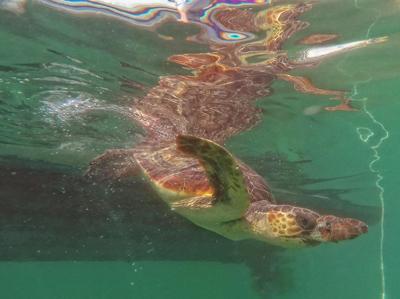 A Manfredonia la tartaruga Ondina ritrova la libertà