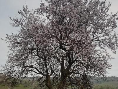 'Inverno anomalo', città inquinate e mimose già in fiore